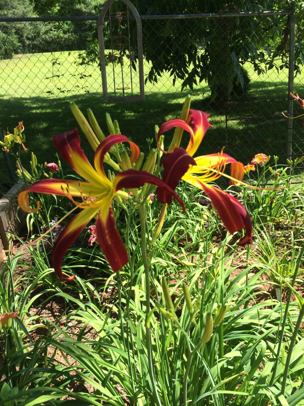 Simonton Bridge Daylily Farm Future Introductions