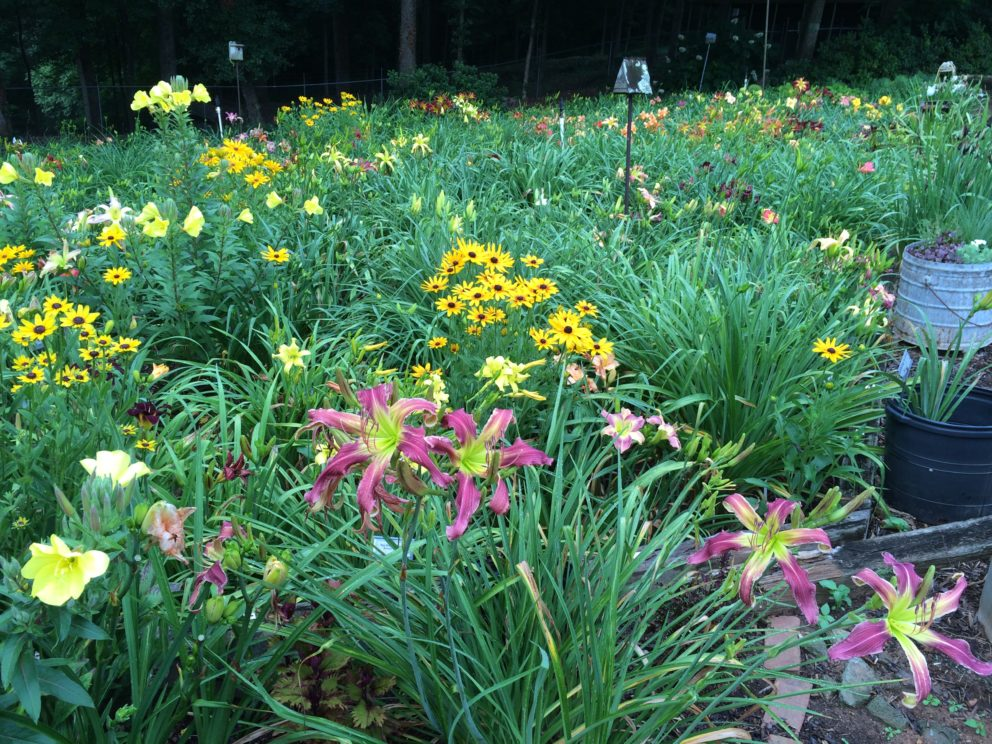 Simonton Bridge Daylily Farm